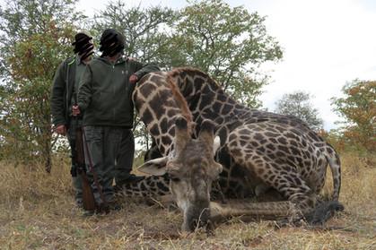 GIRAFFE HUNTING - SHAUN BUFFEE SAFARIS