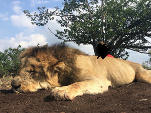 2018 LION HUNTING - SHAUN BUFFEE SAFARIS