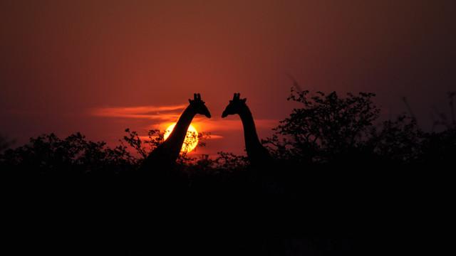 Giraffe Sunset - BVC