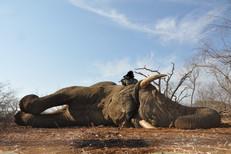 Elephant Hunting - Shaun Buffee Safaris