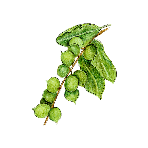 Macadamia leaves.png