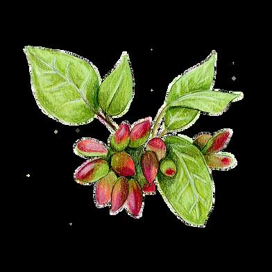 pistachio leaves.png