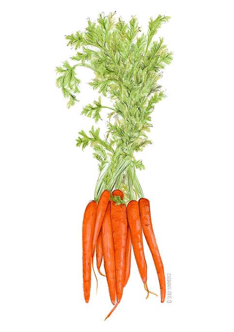 Organic Carrots Illustration