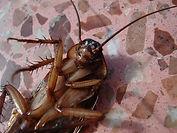 Cockroach pest control newcastle