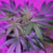 Led Veg Pink Purple