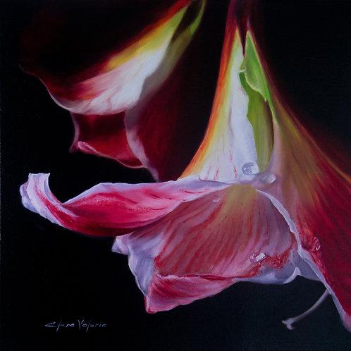 """""""Sparkling"""" - Hippeastrum flower"""