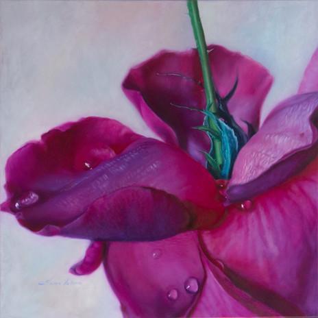 Velvet Dew Awakening - Magenta Rose by Elena Valerie