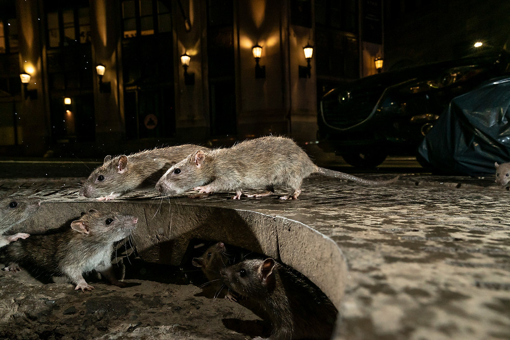 National Geographic Rats