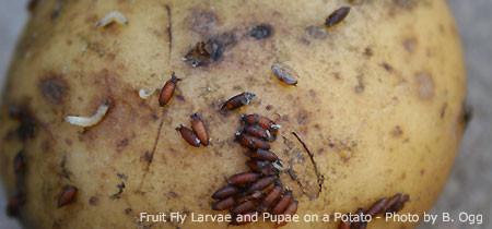Drosophila on potato