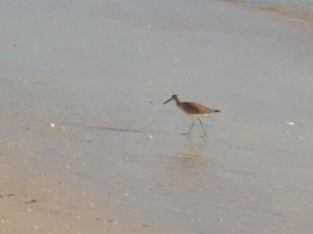 Florida shore bird
