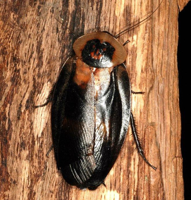 Death's head cockroach