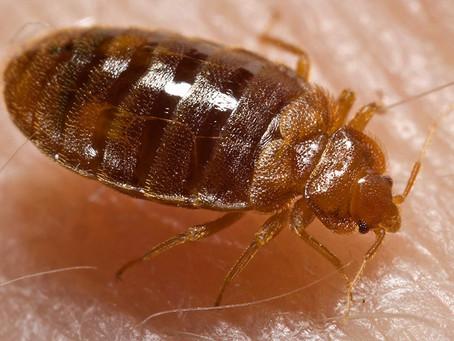 Now you see me, now you don't! (AKA: is it a bed bug?)