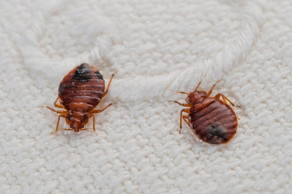 Bed bug adults