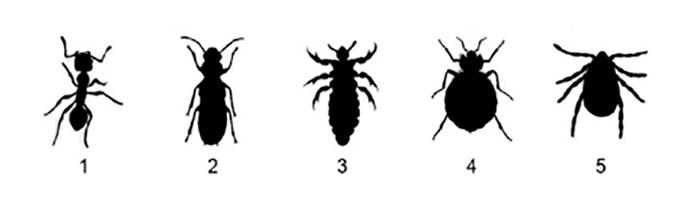Bed bug line up
