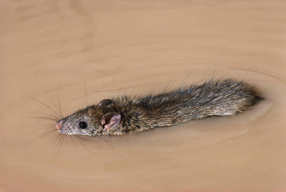 Norway rat swimming