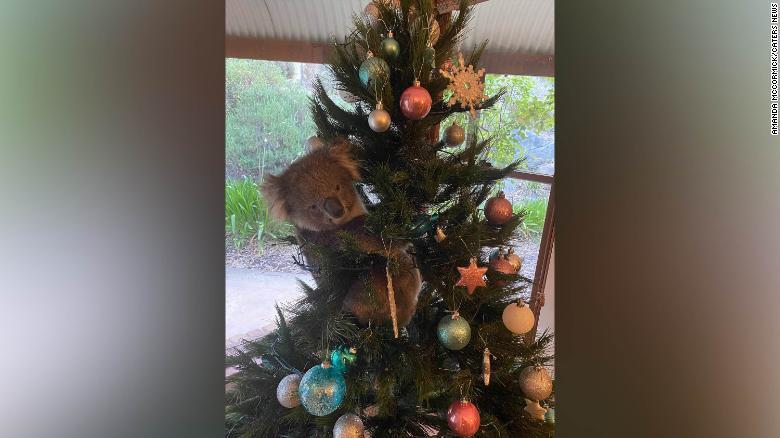 Koala in holiday tree