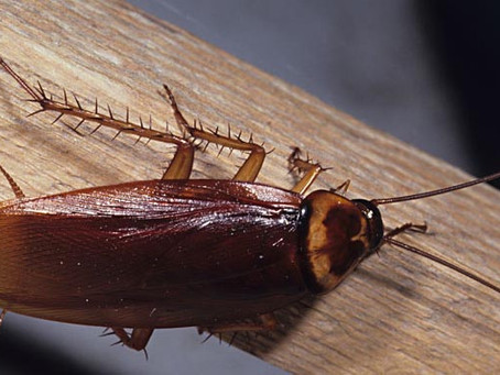 Do You Know Cockroaches? (AKA: Nerding out)