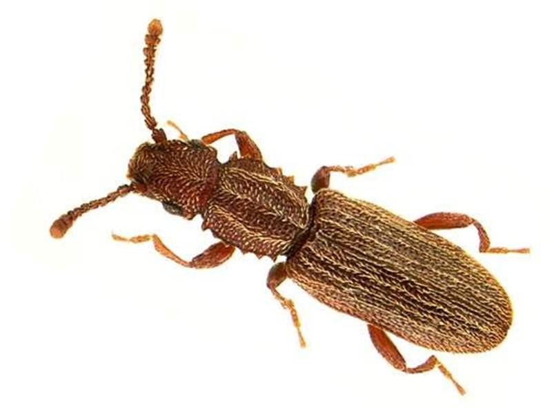O. surinamensis