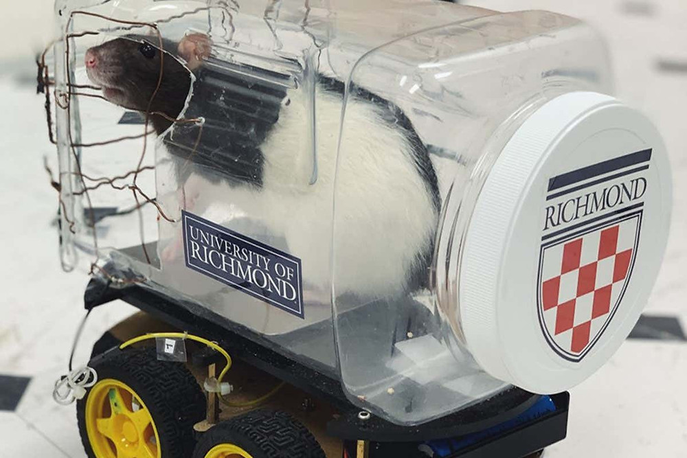 Rat driving tiny car