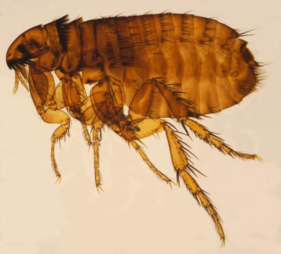 Adult cat flea