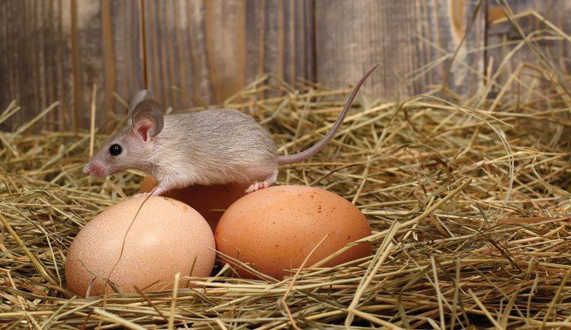 Rodent and egg