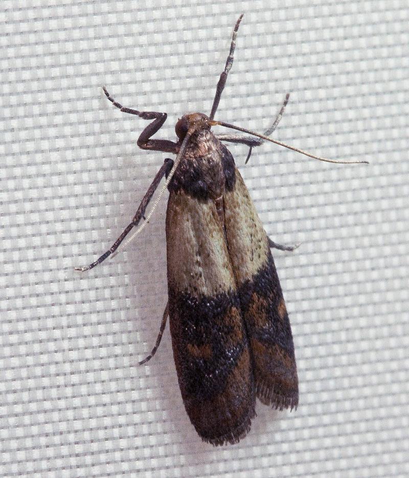 Plodia interpunctella adult
