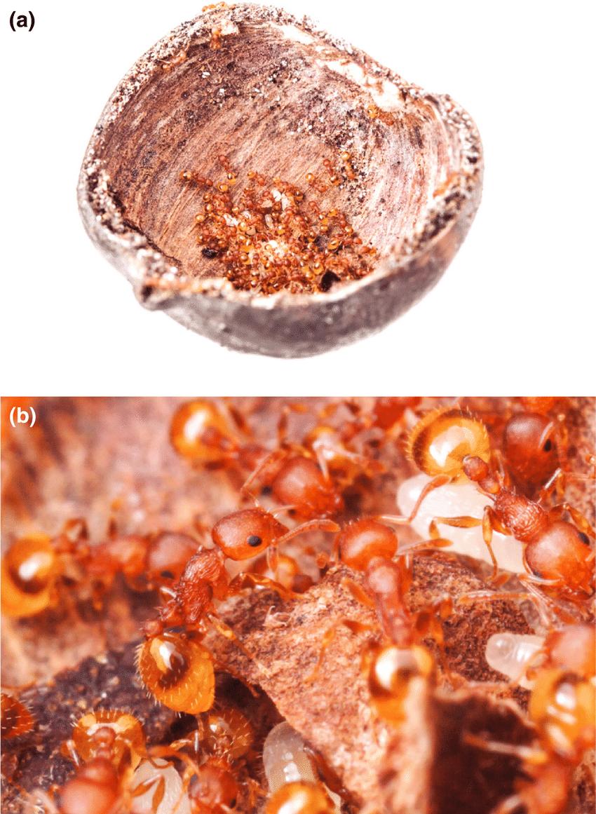 Acorn ants