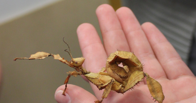 IMG_0849 leaf insect.jpg