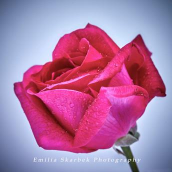 """""""Hot Pink Rose"""""""