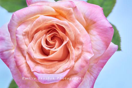 """""""Pastel Rose"""""""