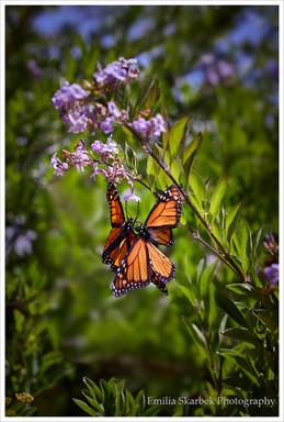 """""""Butterflies"""""""