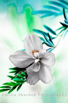 """White Hibiscus"""
