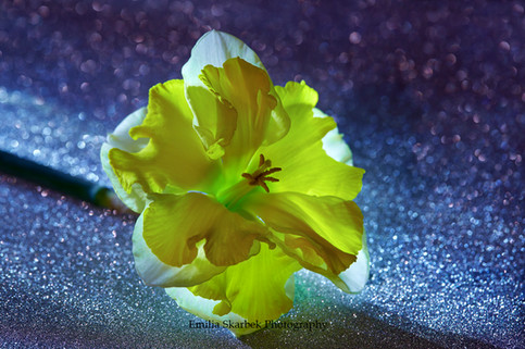 """""""Daffodil Yellow"""""""