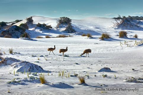 Tree Emus (Western Australia)