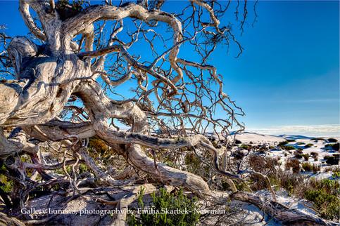 Wiggly Tree (Western Australia)