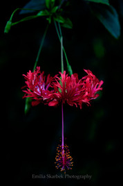 """Red Hibiscus"""