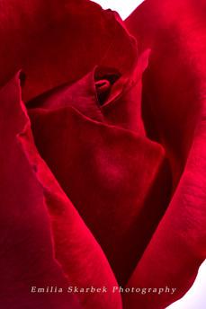 """Red Rose"""