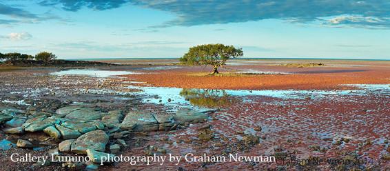Mangrove Tree (Western Australia)