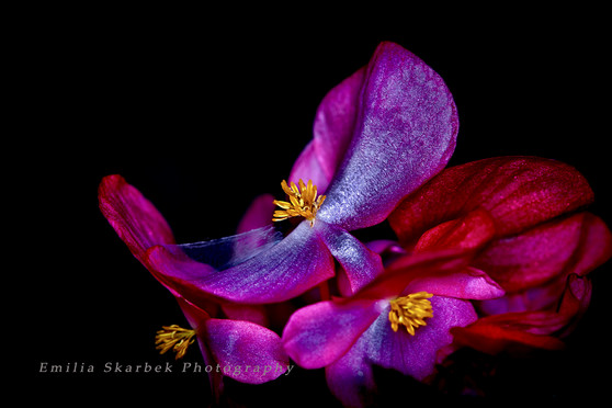 """Begonia Vibrant"""