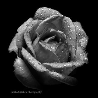"""Grey Rose"""