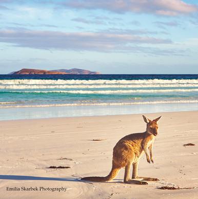 Lucky Bay Kangaroo (Western Australia)