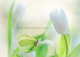 """""""Small Beauty with Tulips"""""""