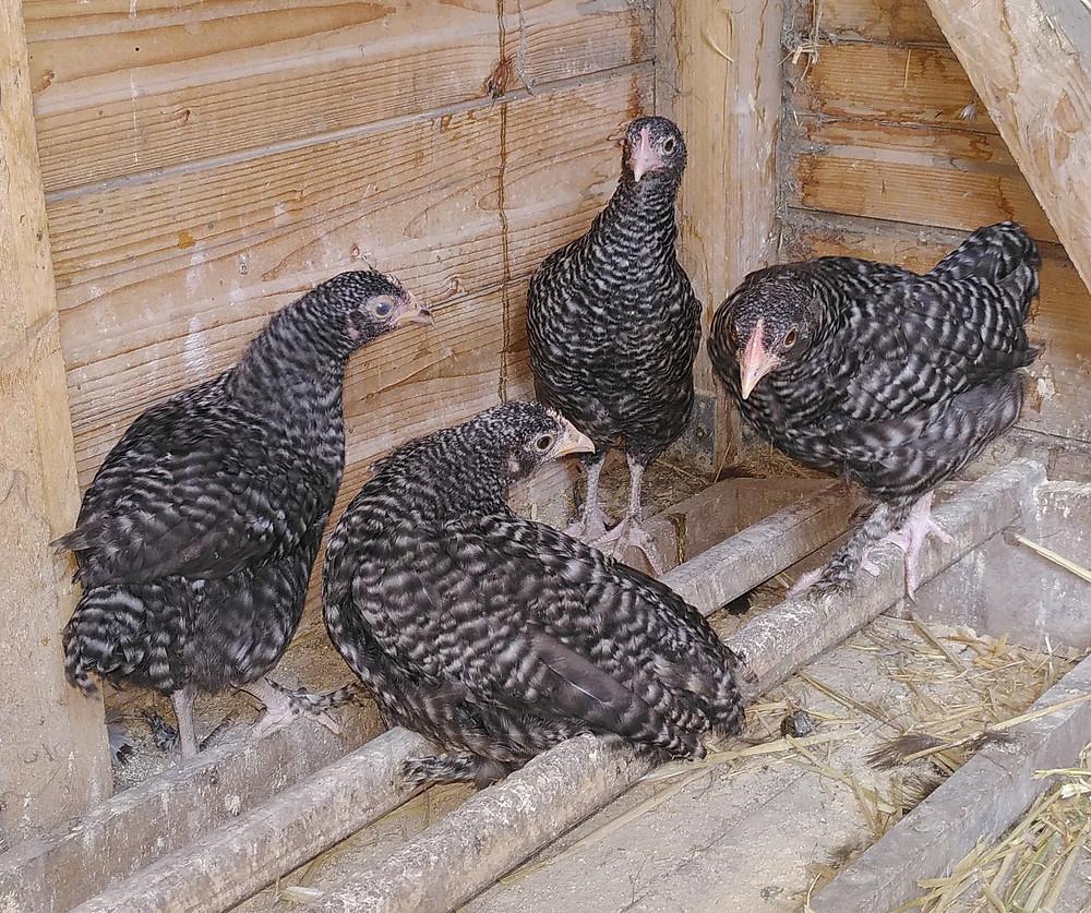 renouveau poules planète indigo