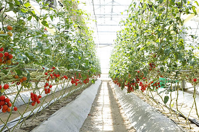 たわわに成るミニトマト