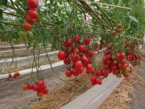 今年もハッピートマトの収穫が始まりました!