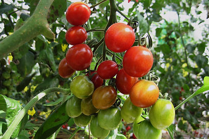 ミニトマトの果実