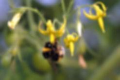 マルハナバチによる受粉