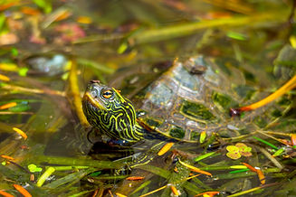 Northern map Turtle hides in sea weed ju