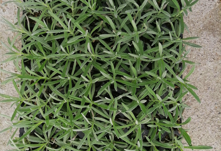 Plateau di piante