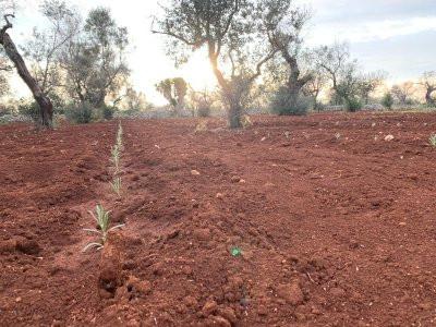 Lavanda e olivi